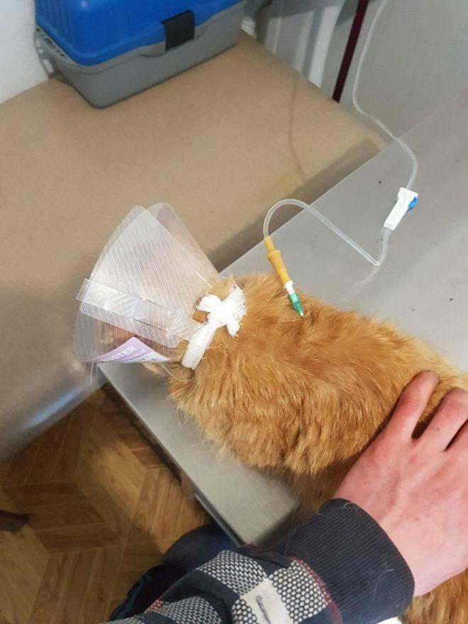 Как сделать укол кошке в холку: нюансы подкожной инъекции, выбор инструментов, проведение процедуры поэтапно
