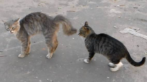Все ли коты метят ?