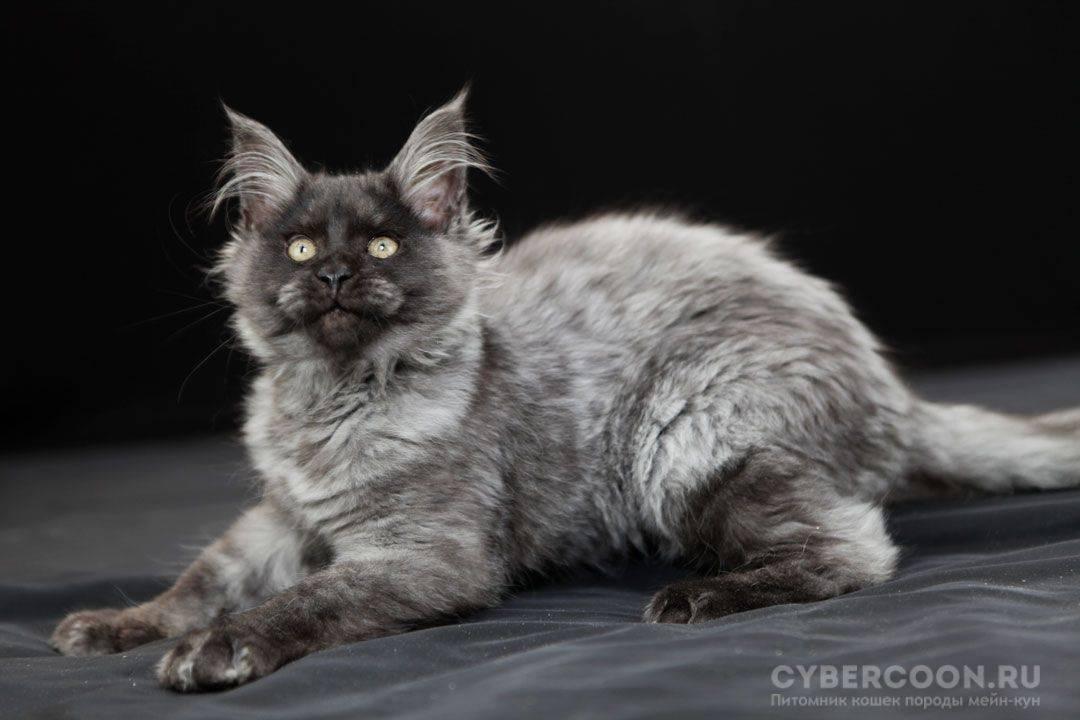 Кот черный дым: породы, описание окраса, характеристика