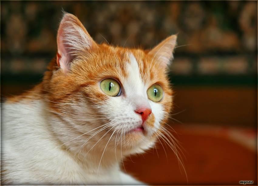 Серый кот (дымчатый, с зелеными глазами): породы