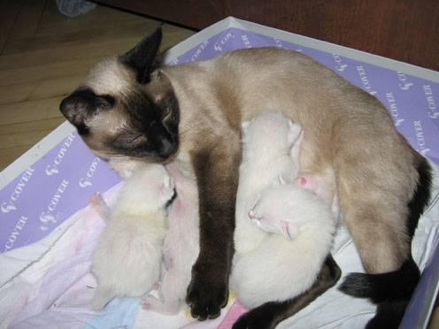 Чем кормить тайскую кошку?   zdavnews.ru