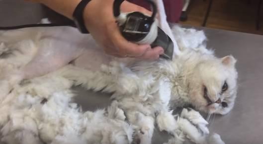 Убираем у кота колтуны в домашних условиях: почему сваливается шерсть у кошки