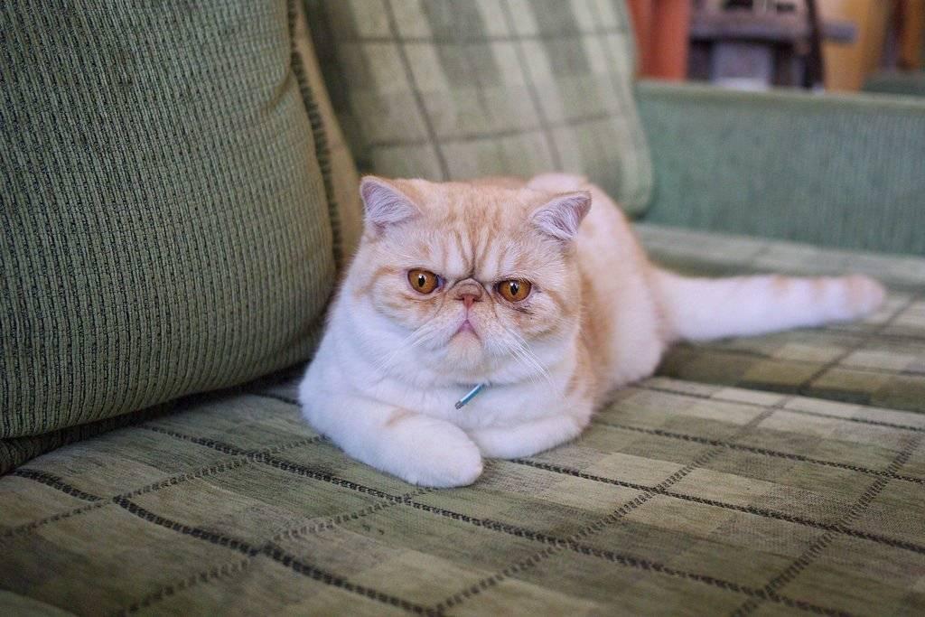 Экзотическая кошка (экзот) – полное описание с фото
