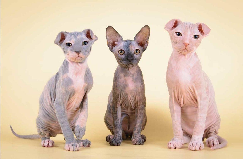 Самые добрые и ласковые породы кошек — топ 10