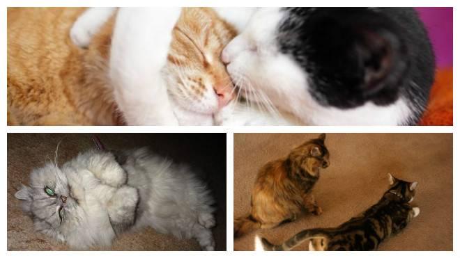 Течка у кошки — периодичность и продолжительность