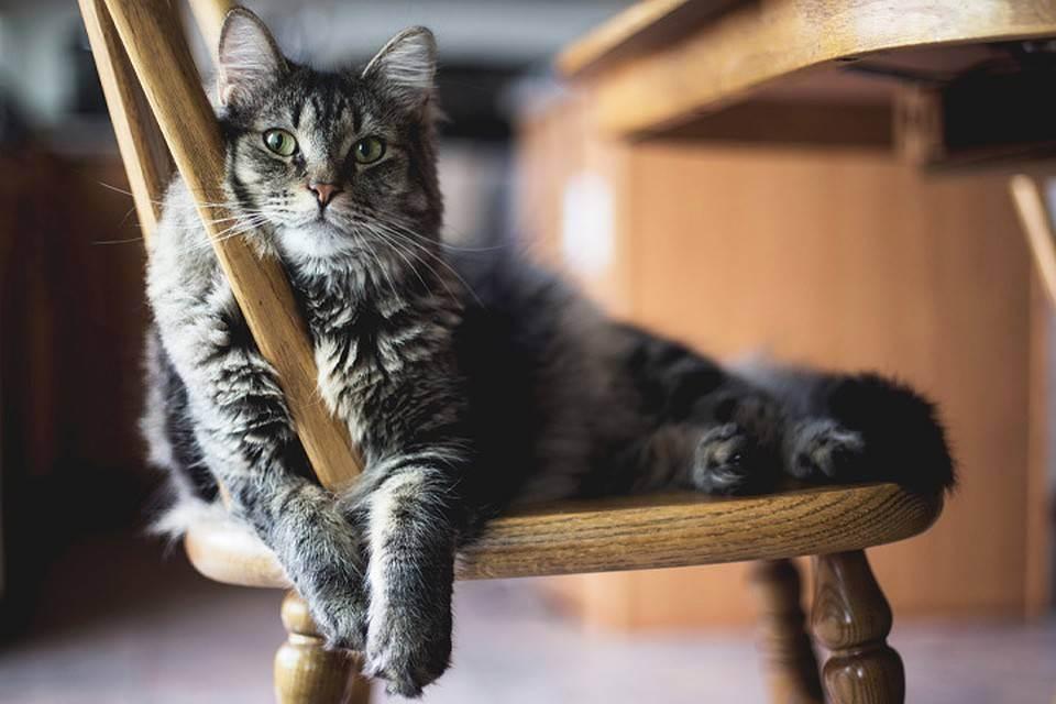 Сахарный диабет у кошек: симптомы, диагностика и лечение