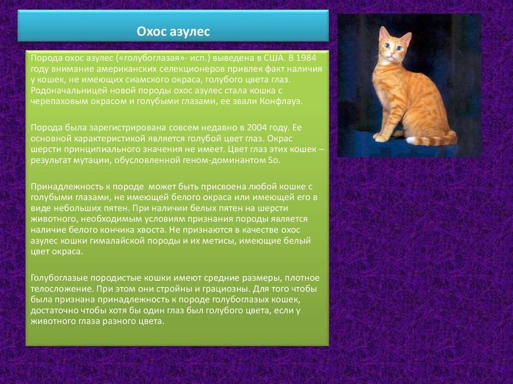 Охос азулес: фото, описание кошки и ее характер