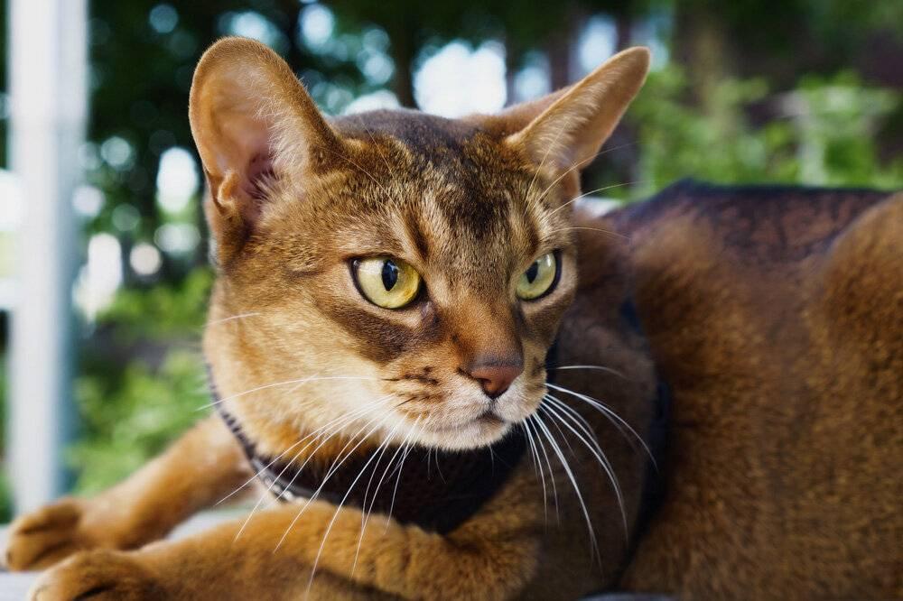 15 самых умных пород кошек - кэт молли