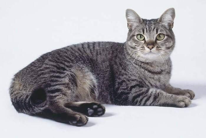 Британский черный кот