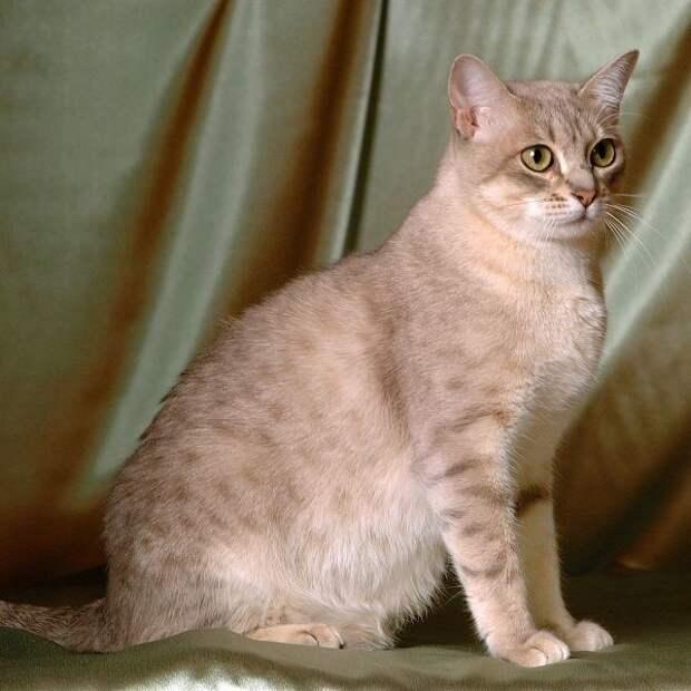 Короткошёрстные породы домашних кошек