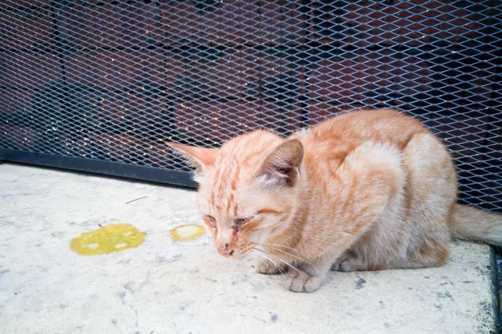 Кошка вылизывает шерсть до появления залысин.