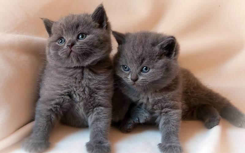 Список имен для британских котов серого цвета
