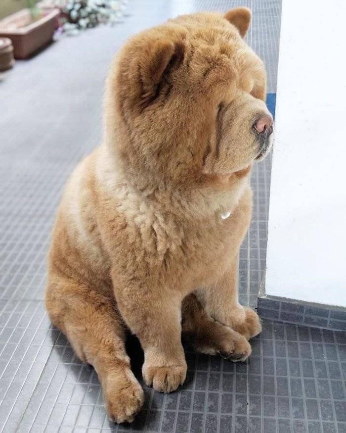 Маленькие собачки: породы, фото и цены, похожая на медвежонка