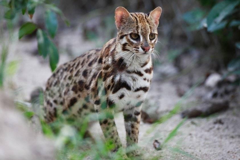 Леопард: где обитает, чем питается, сколько живет, описание