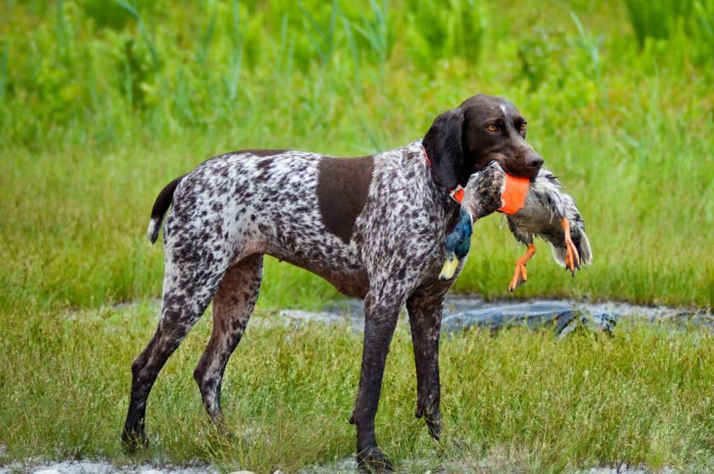 Охотничьи собаки с названиями, фото и описанием пород (ч3)