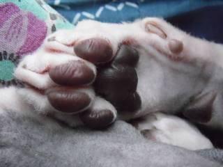 Лапки-царапки: считаем пальцы у кошки. сколько пальцев у кошки на передних и задних лапах: норма и отклонения в развитии