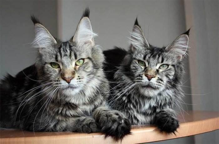 Котята породы мейн-кун.