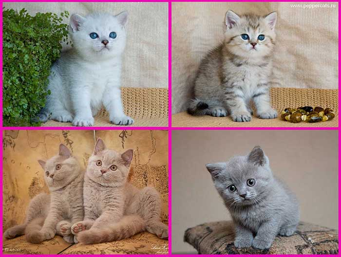 Вислоухий британец и шотландец: ключевые отличия внешнего вида, характера, фото, чем отличаются британские и шотландские кошки