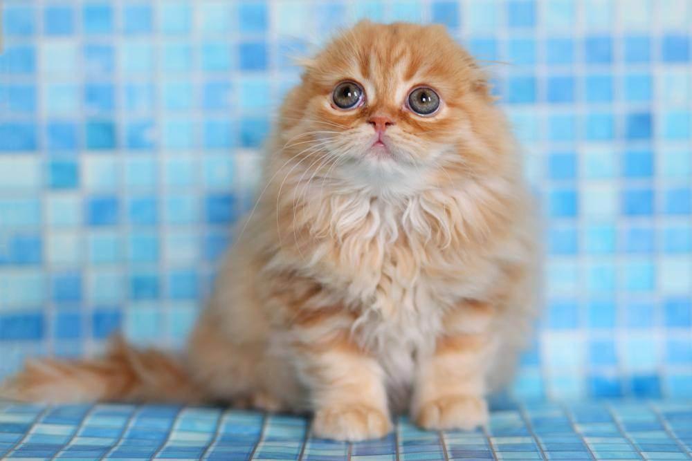 Чем кормить шотландского вислоухого котенка: правильное питание и полезный рацион