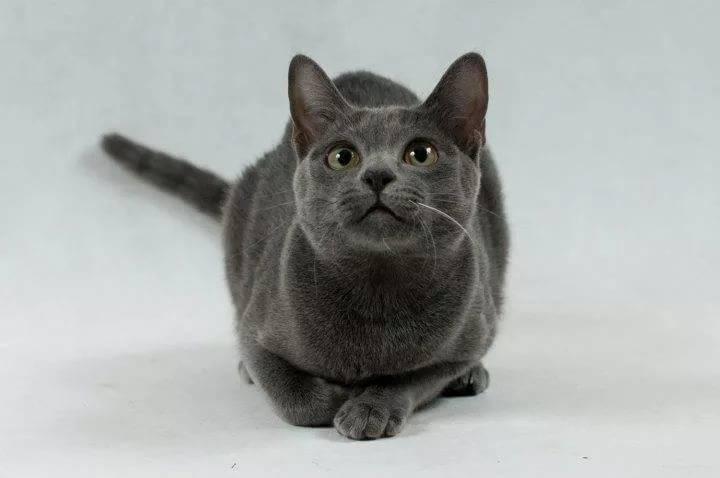 Корат кошка. описание, особенности, уход и цена кошки породы корат | животный мир