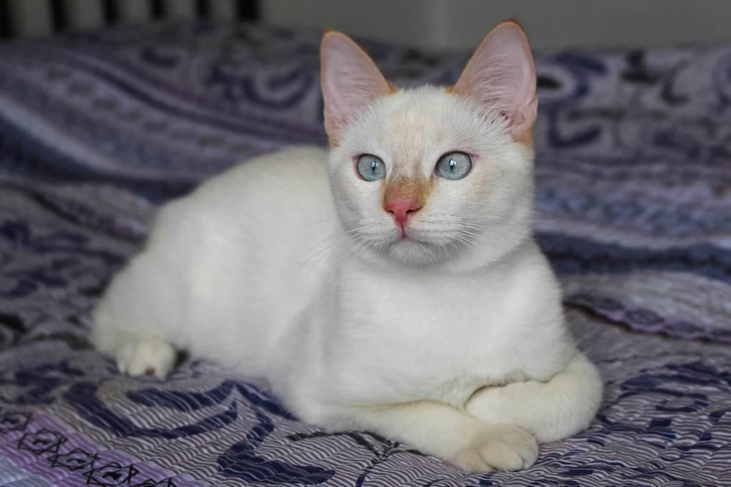 Все о тайской породе кошек
