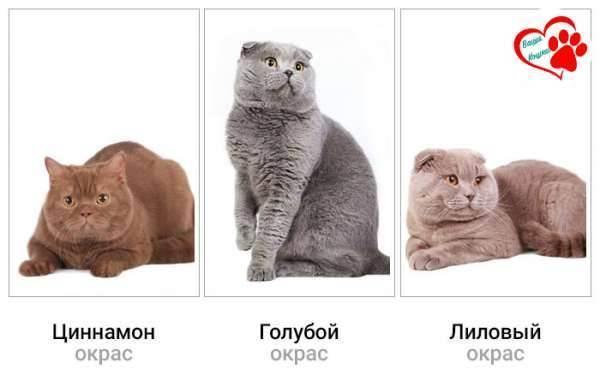 Окрасы британских короткошерстных кошек — описание, коды
