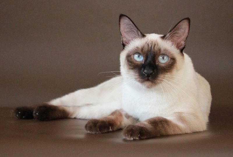 Окрасы тайских кошек: фото с описанием