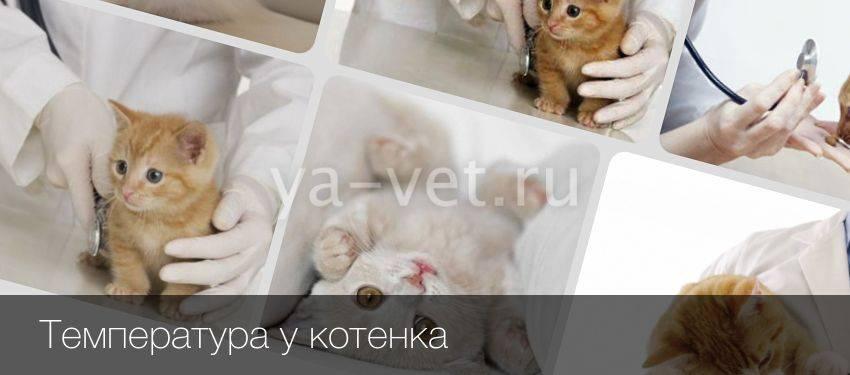 Нормальная и опасная температура тела у кошек