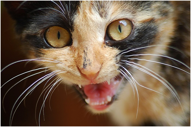 Основные инфекционные заболевания у кошек их симптомы, диагностика и лечение