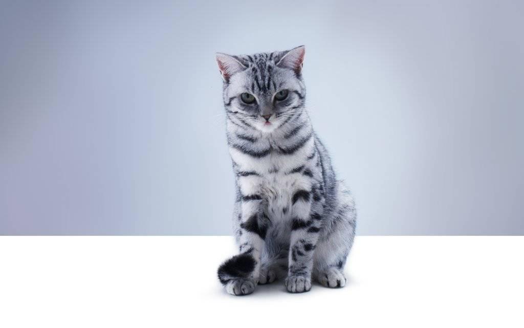 Порода кошки из рекламы «вискас» – кто эти животные и почему они были выбраны для ролика?
