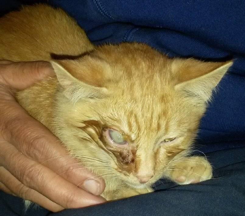 Хламидиоз у кошек: пути передачи, симптомы и лечение, профилактика