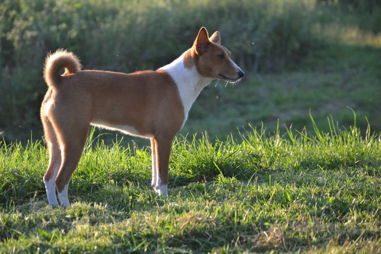 Собака басенджи: описание породы, характер, африканская, нелающая