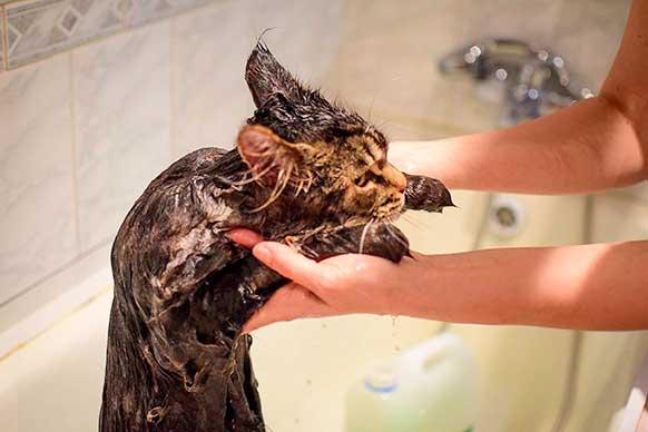 Нужно ли мыть кошек?