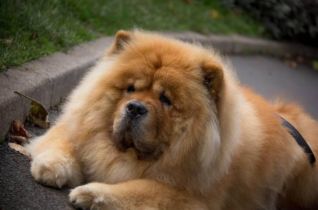 Некроз языка у собаки: причины, симптомы, лечение и профилактика