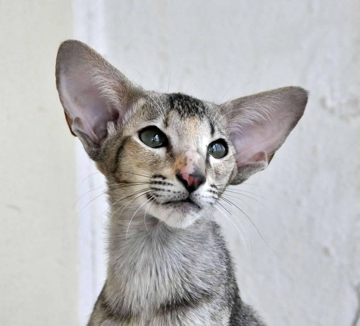Кошки с большими ушами: список пород и их особенности