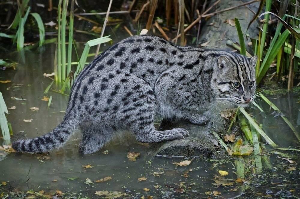 Виверровый кот-рыболов – особенности породы