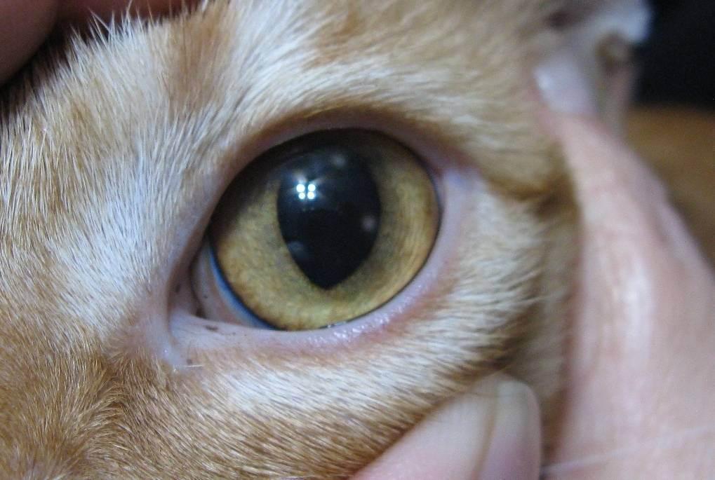 Патологии третьего века у кошек | офтальмологическое отделение ветеринарной клиники