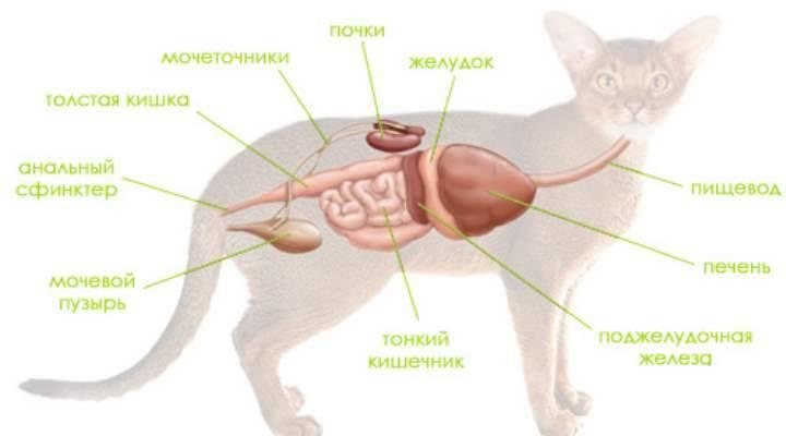 Понос у кота: причины и лечение в домашних условиях