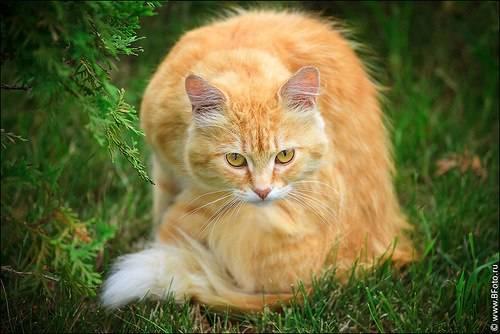 Кот рыже белый: окрас и характер, популярные породы