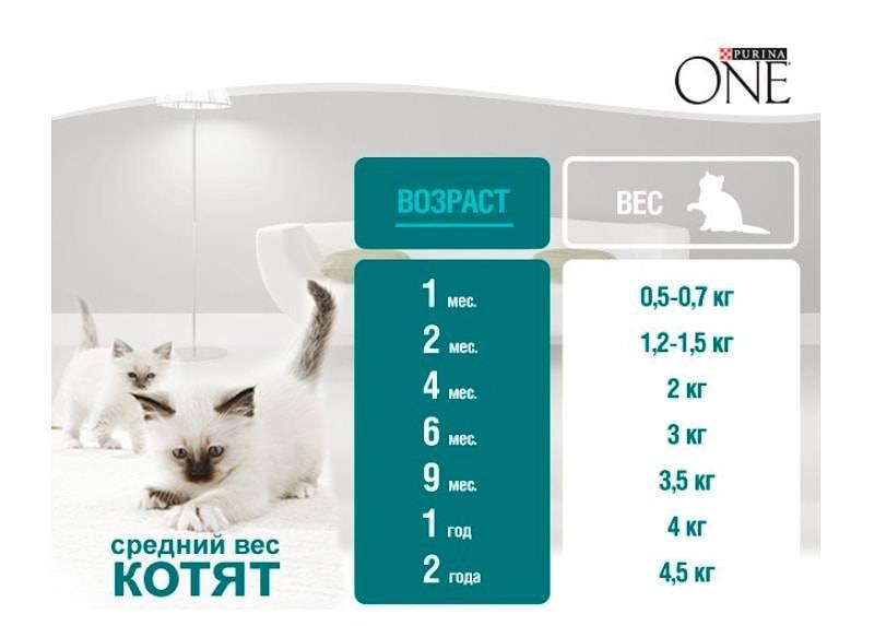 Сколько весит кот: норма и отклонения