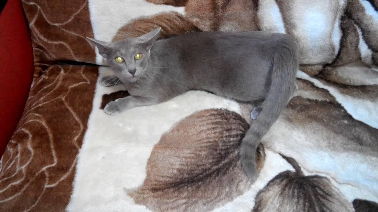 Сколько раз в год течка у кошки? как успокоить кошку во время течки