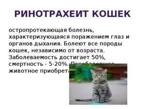 14 симптомов ринотрахеита у кошек