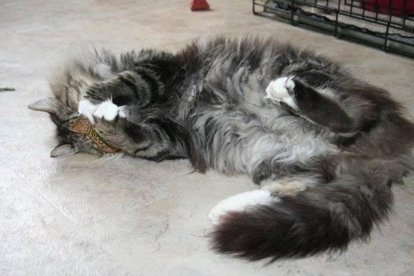 Пупочная грыжа у котенка: симптомы, лечение, операция