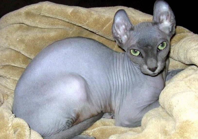 Кошка породы эльф: подробное описание и характеристика, уход и содержание