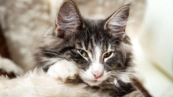 Психические потребности домашней кошки - питомник британских кошек arletta british
