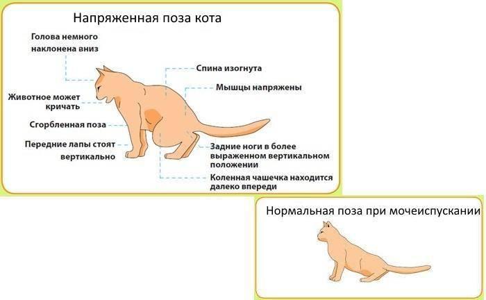 Причины возникновения жирного хвоста у кота и способы лечения