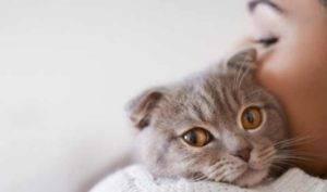 Как заботиться о шотландском вислоухом котенке: воспитание, уход