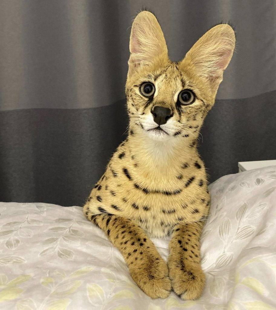 Кошка саванна – как правильно ухаживать за экзотическим питомцем и интересные факты о породе