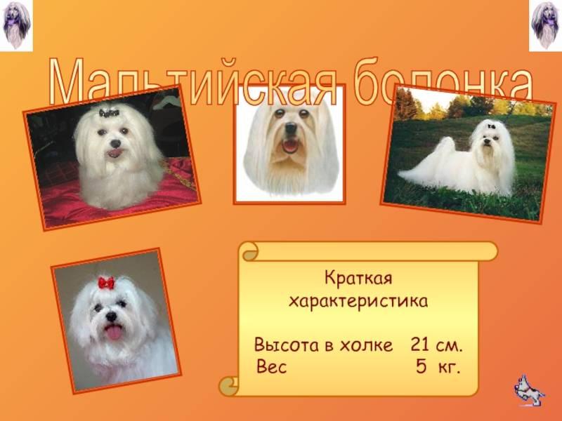 Собаки-компаньоны: популярные породы и особенности выбора