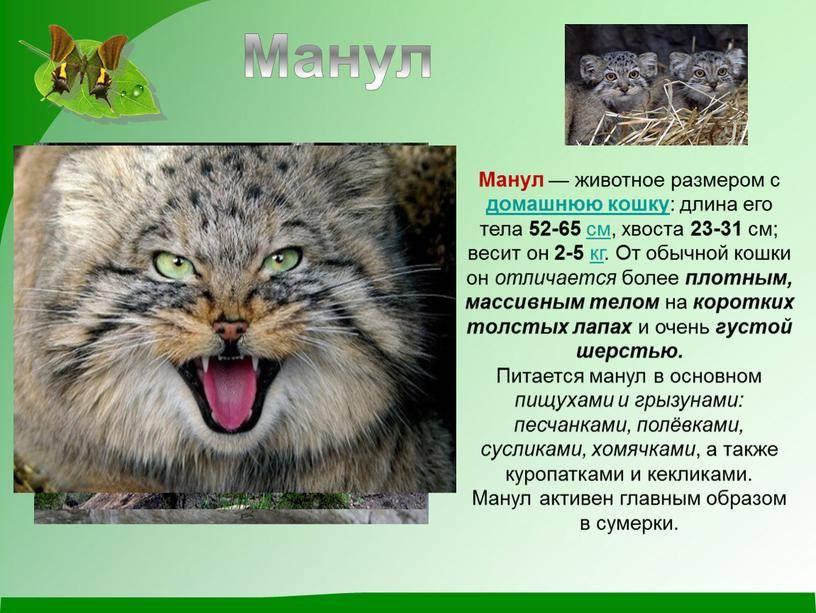 Кот манул - описание породы и среда обитания, образ жизни и питание, содержание в зоопарках